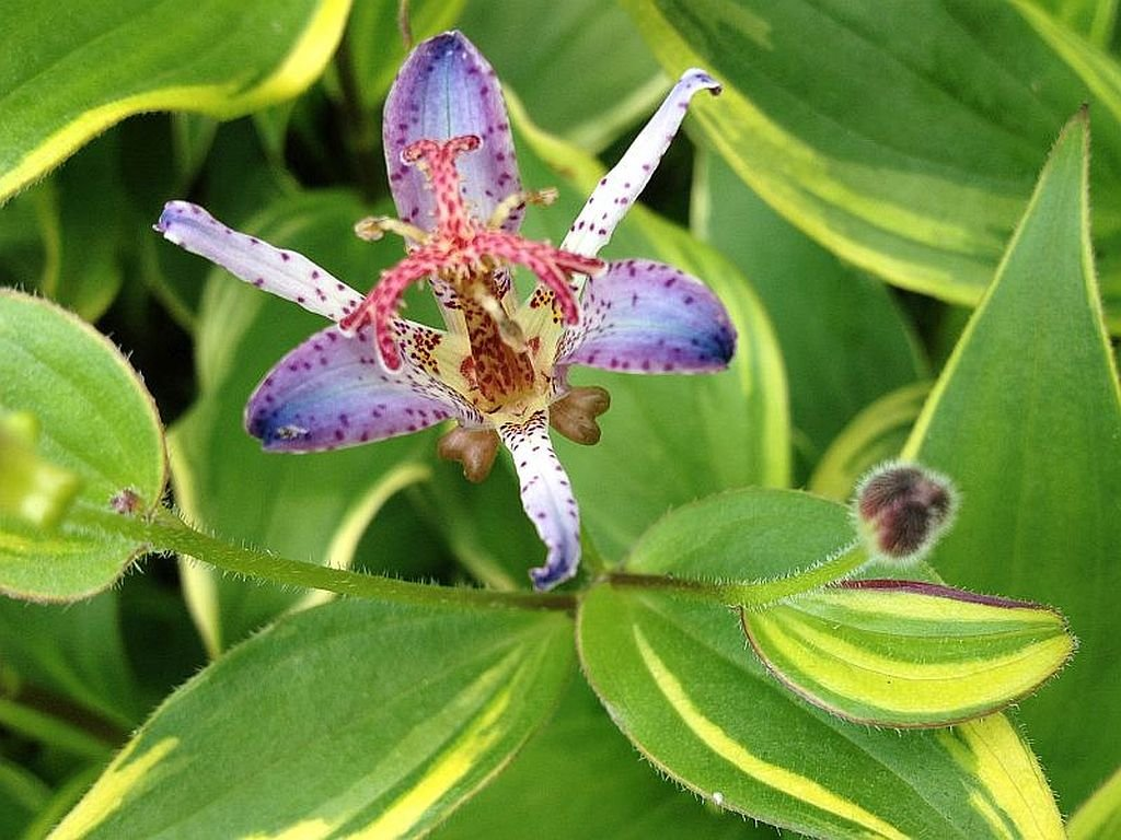 Amazon toad lily variegated live tropical plant shade garden amazon toad lily variegated live tropical plant shade garden tricyrtis samurai ground cover tiny purple flowers starter size 4 inch pot emeralds tm izmirmasajfo
