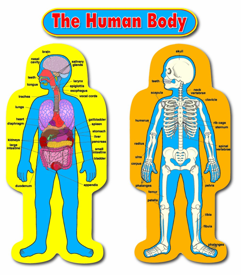 Amazon.com : Carson Dellosa Child-Size Human Body Bulletin Board Set ...