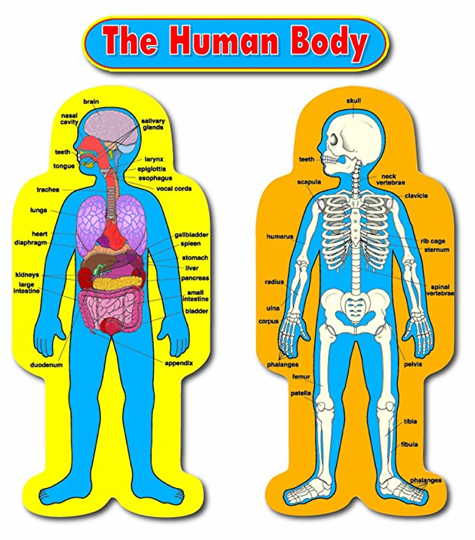 Amazon Carson Dellosa Child Size Human Body Bulletin Board Set