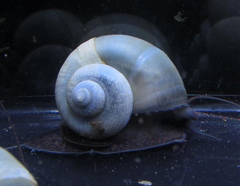 Polar Bear's Pet Shop 5 Blue Mystery Snails Live Freshwater Aquarium Snails
