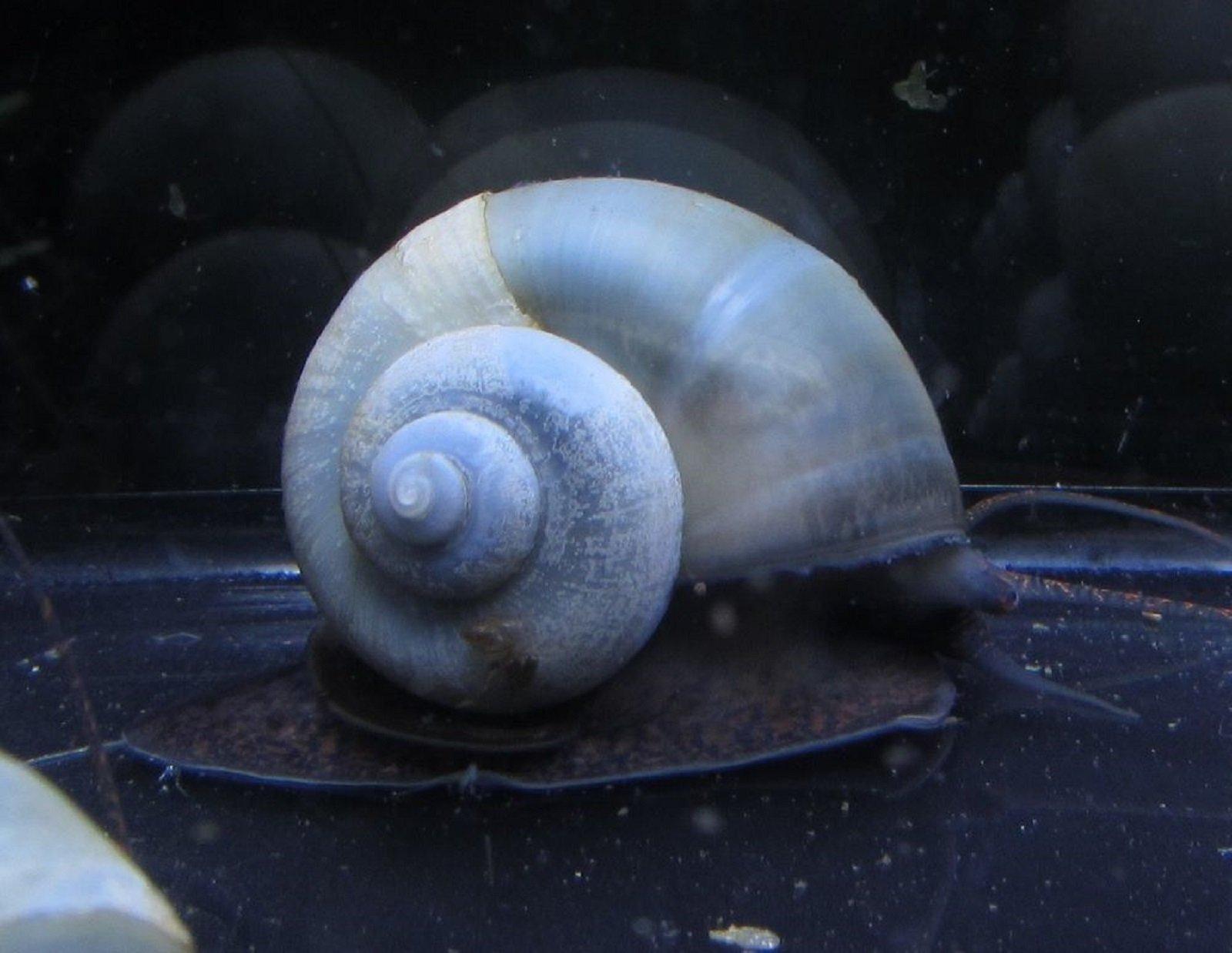 Hot Sale! 10 Blue Mystery Snail Live Freshwater Aquarium Snails