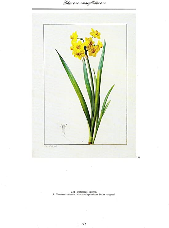 """1986 Vintage REDOUTE FLOWER /""""MULTIFLOWERED NARCISSUS/"""" COLOR Art Lithograph"""
