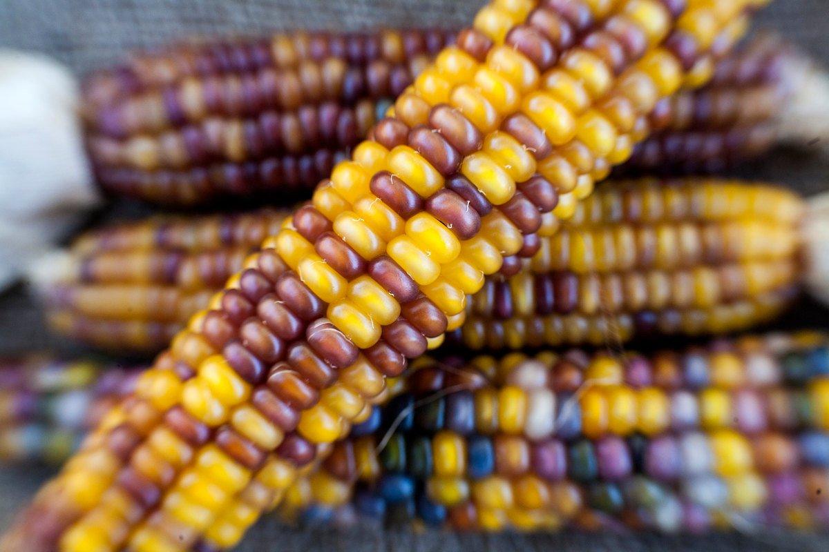 Rubies and Amber Glass Gem Cherokee Indian Corn Heirloom Premium Seed Packet + More