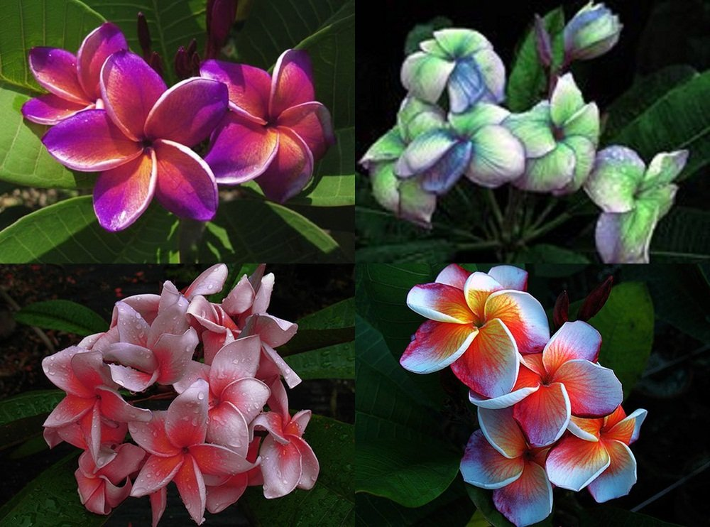 """MIXED 4 CUTTING"" FRAGRANT PLUMERIA'S CUTTING WITH ROOTED 7-12 INCHES REGISTERED TRACK ONLINE 100%GUARANTEE SATISFICATION AND MONEY BACK"