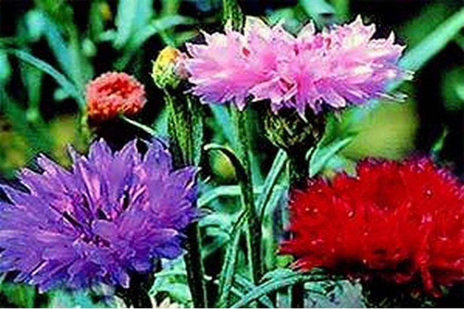 Portal Cool Bachelor Button- Cornflower- Tall Mix Colors- 200 Seeds- Bogo 50% Off Sale