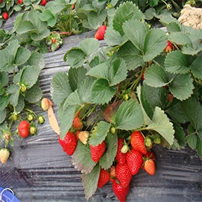 Bravet Fruit Seeds - 100Pcs Climbing Strawberry Four Season Home Garden Balcony Fruits Decor Plants Seeds: Home Improvement