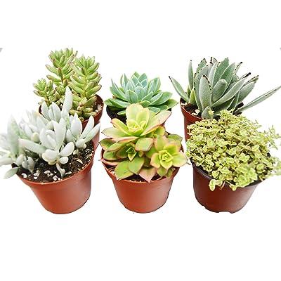 """6 Variety Pack Succulent 4"""" Pot Live Plant Gardening tkhps : Garden & Outdoor"""