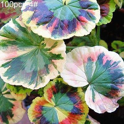 newshijieCOb 100Pcs Colored Grass Coleus Seeds Bonsai Potted Perennial Plant Ornamental Plant Home Office Garden Balcony Yard Bonsai Floral Decor - 4# Coleus Seeds : Garden & Outdoor