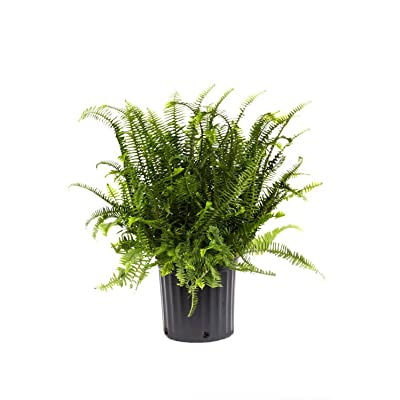 AMERICAN PLANT EXCHANGE Kimberly Queen Fern Live Plant, 3 Gallon, Indoor/Outdoor Air Purifier : Garden & Outdoor