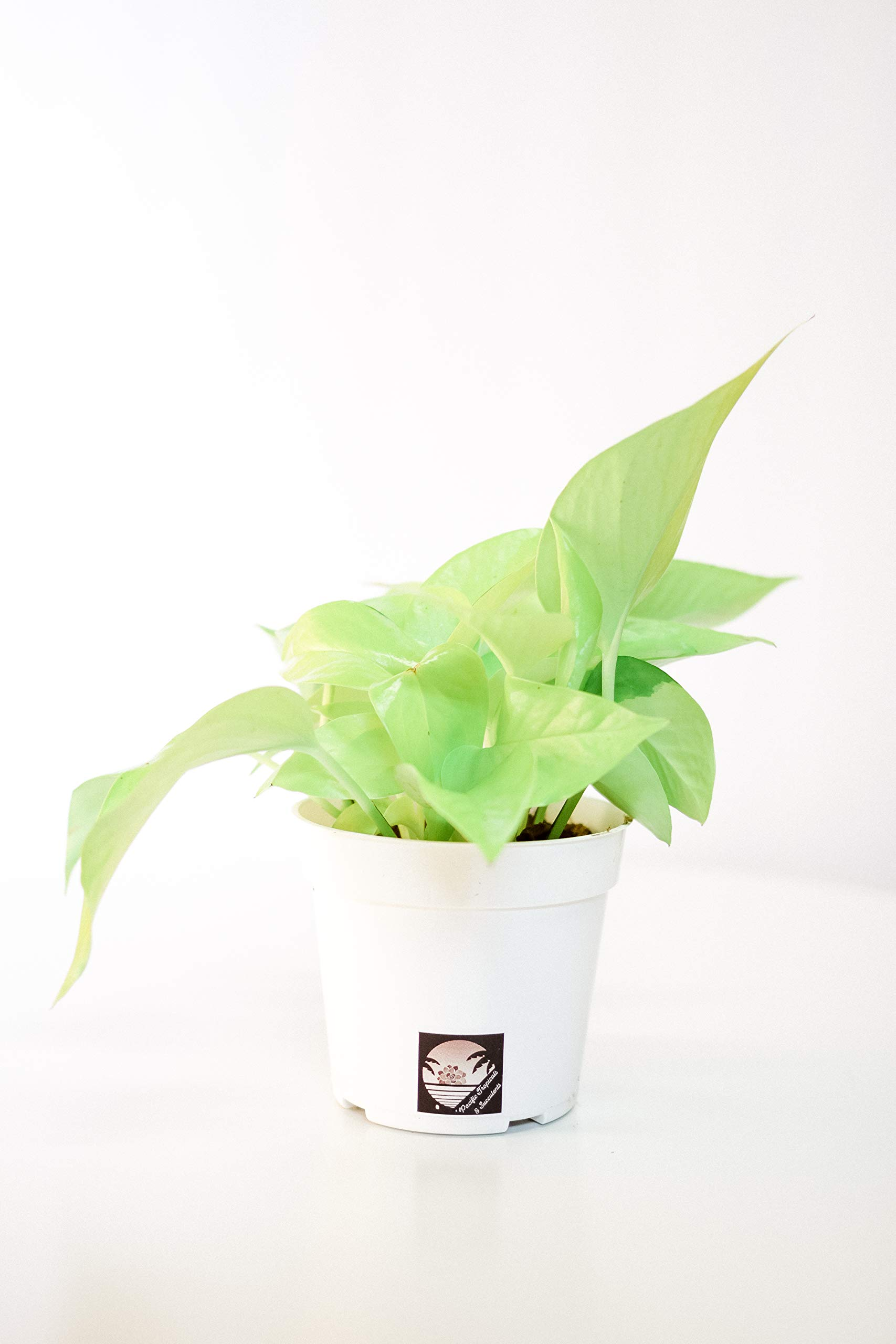Pacific Tropicals &Succulents -Neon Pothos -Live Indoor Plant-Ships in 4 inch Grow Pot-Homegrown