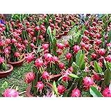 3 RED + 3 PURPLE + 9 inch CUTTINGS DRAGON FRUIT TREE PLANT (PITAHAYA)