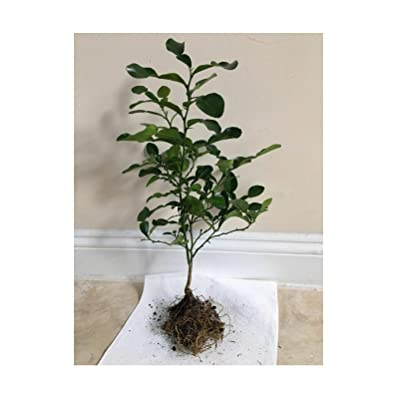 "Kaffir Lime Tree Plant Starter Plant (Plant 12"" - 16"") : Garden & Outdoor"