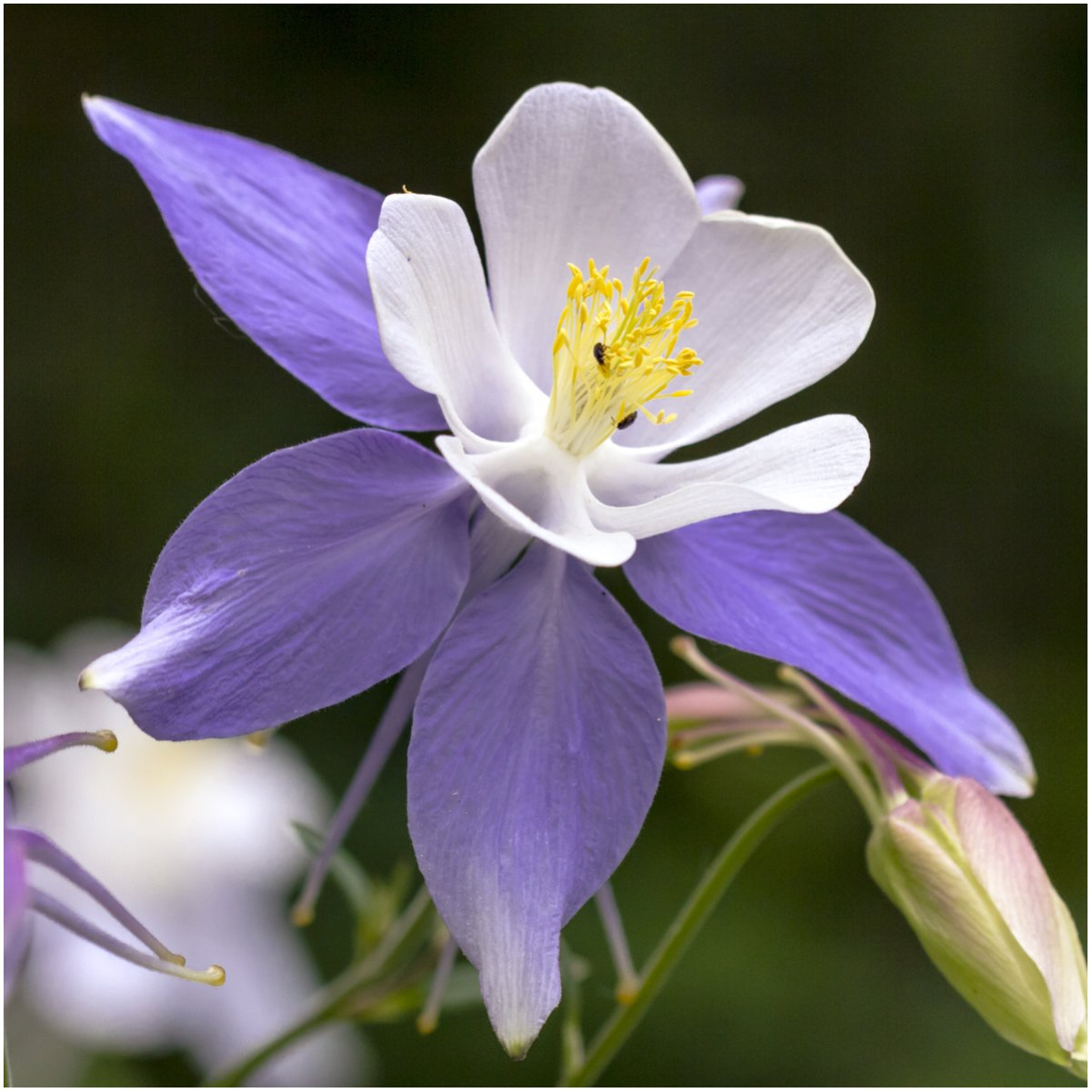 Amazon Package Of 500 Seeds Blue Star Columbine Aquilegia