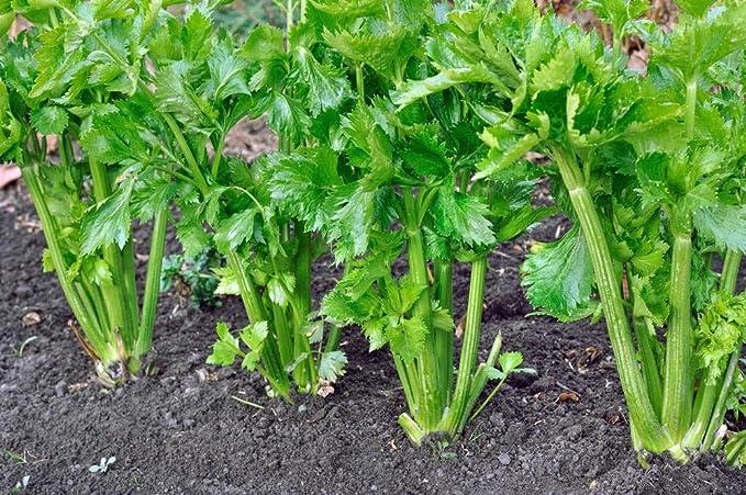 Varieties containing Multiple Vegetables and Vanilla Seeds Create a Luxurious Garden, 100% Non-GMO (Celery-1): Amazon.ca: Patio, Lawn & Garden