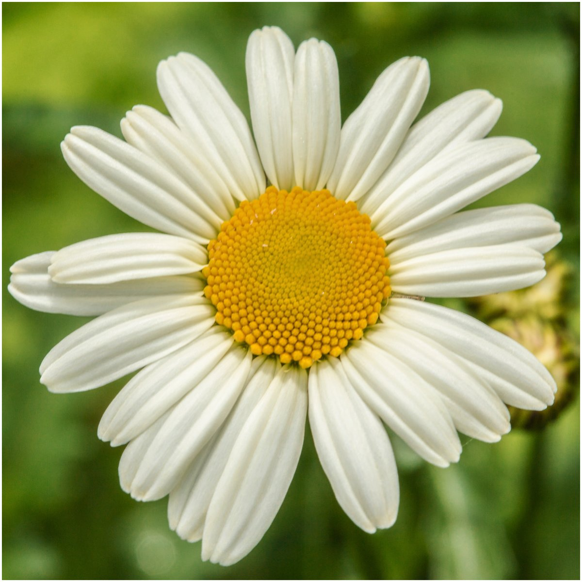 Amazon Seed Needs Ox Eye Daisy Chrysanthemum Leucanthemum 1