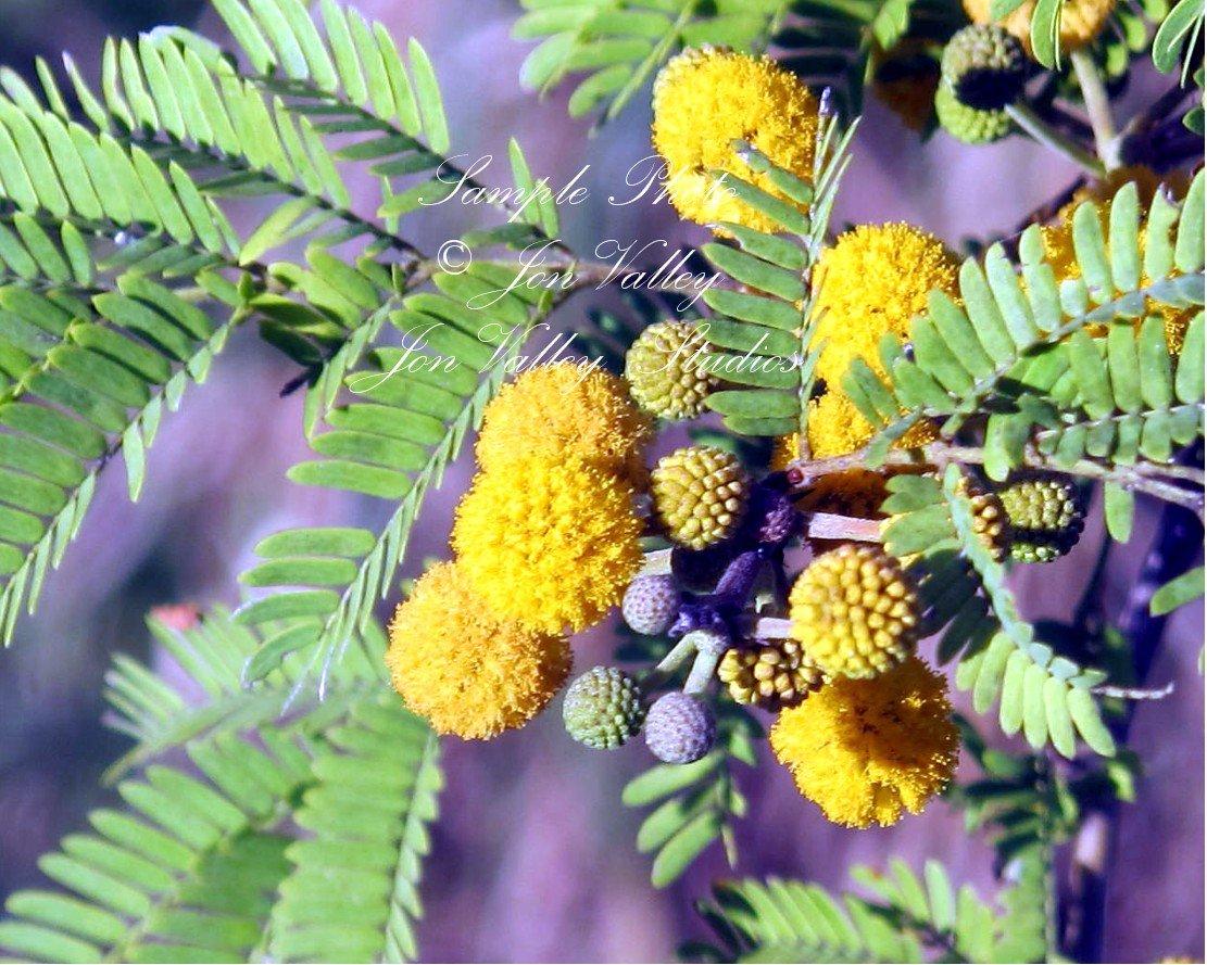 Amazon Acacia Farnesiana 10 Seeds Mimosa Sweet Acacia Bright