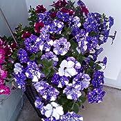 baldur garten h nge petunie night sky 3 pflanzen petunia h ngepetunie blau mit wei. Black Bedroom Furniture Sets. Home Design Ideas