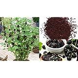 HEIRLOOM NON GMO Black Currant 25 seeds