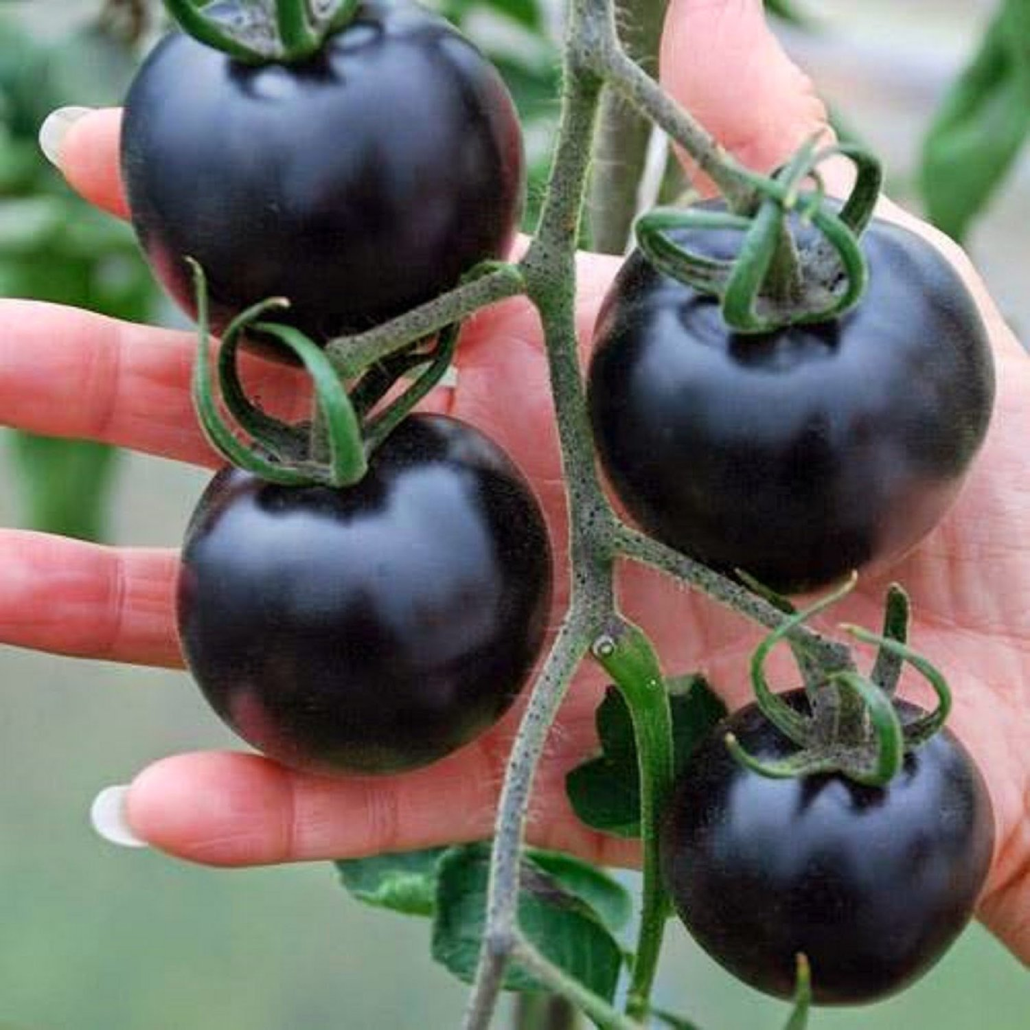 (Black Big *Ambizu*) 1 Original Pack, 25 Seeds / Pack, Black Pearl Tomato Seeds Non-gmo Heirloom Tomatoes