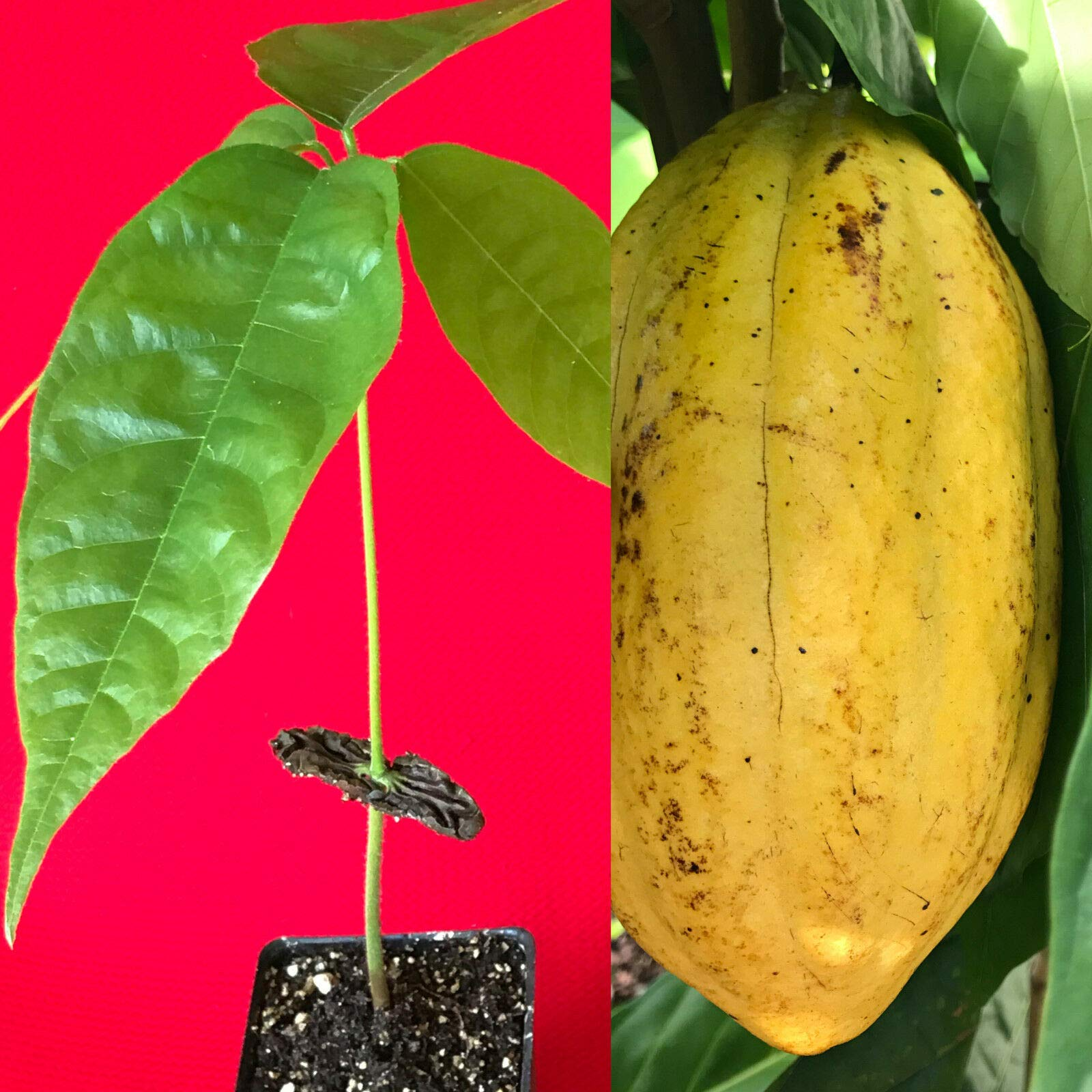 US Warehouse, Live Plant (Not Seed or Bulb), Yellow Theobroma Cacao Cocoa Chocolate Tropical Fruit Tree Potted Plant 8-13''