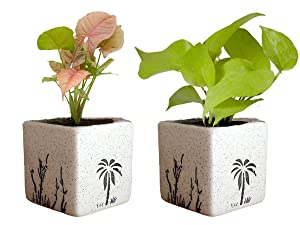 Rolling Nature Combo of Good Luck Air Purifying Live Golden Money Plant and Syngonium Pink Plant in White Square Aroez Ceramic Pot