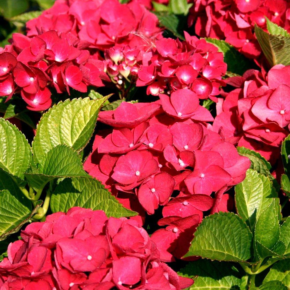 1 X HYDRANGEA MACROPHYLLA 'TELLER RED' DECIDUOUS SHRUB HARDY PLANT IN POT Gardener's Dream