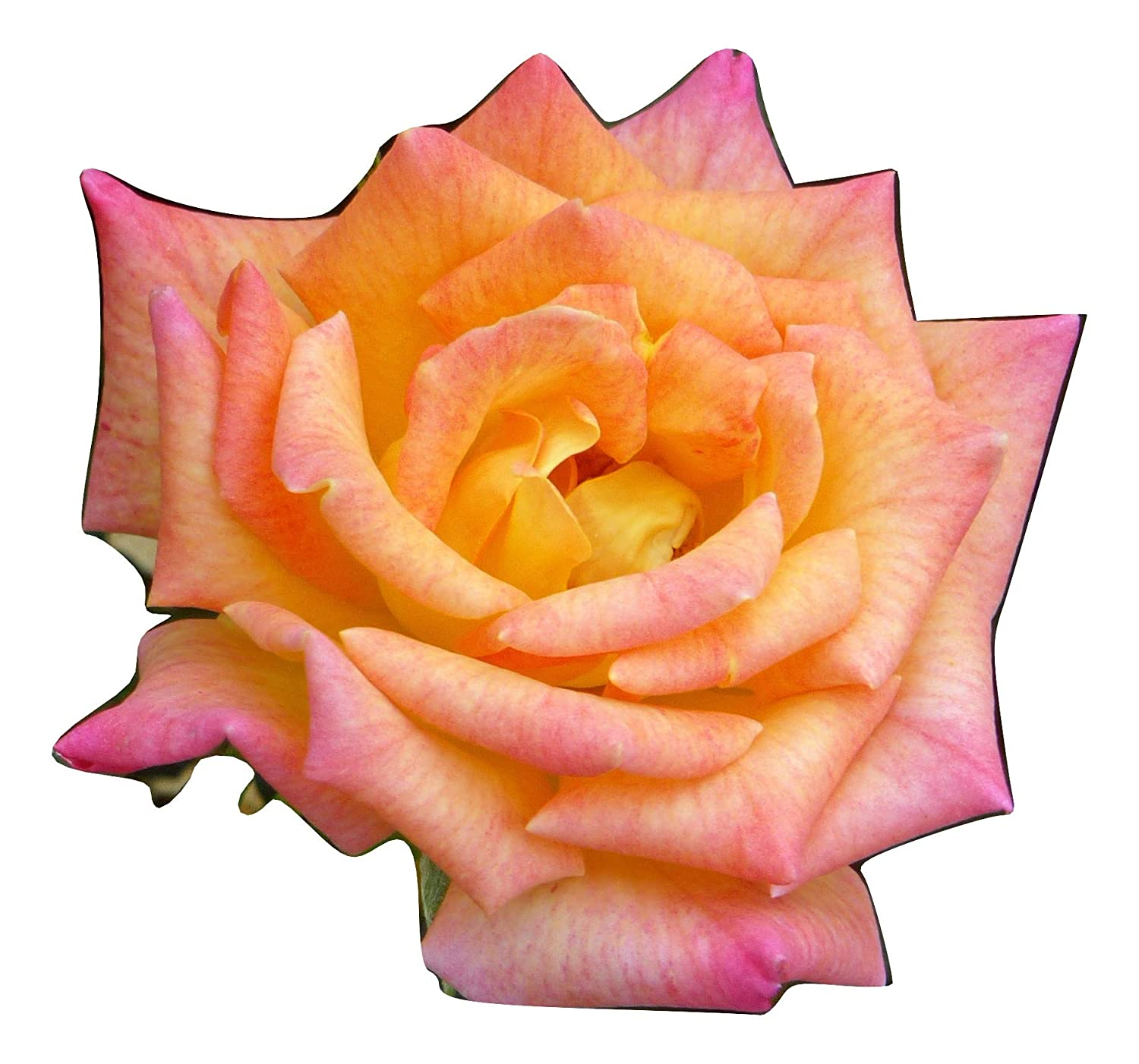ROSE GEORGE'S PRIDE-Ideal Plant & Flower Gift For Fathers Day & All Occasions Personalised Gift For Dad,Grandad,Him,Boy Giftaplant Ref: ROSGEORPRID9
