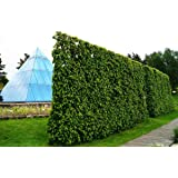 Charmille - Charme commun - Haie de Charmille avec une hateur de 120-150 centimètre- marchandise de racine - plantes en remise - Carpinus betulus floranza® (10)