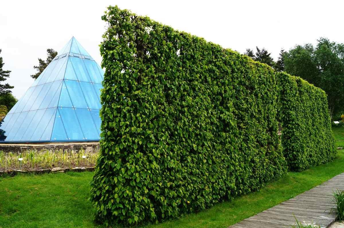 Hainbuchenhecke Wurzelware 120-150 cm hoch im Rabatt-Paket - Carpinus betulus floranza® 50 Stück