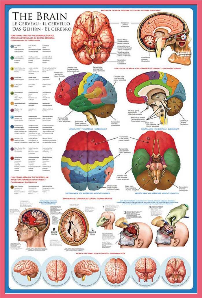 Groß Gehirn Bilder Anatomie Ideen - Menschliche Anatomie Bilder ...