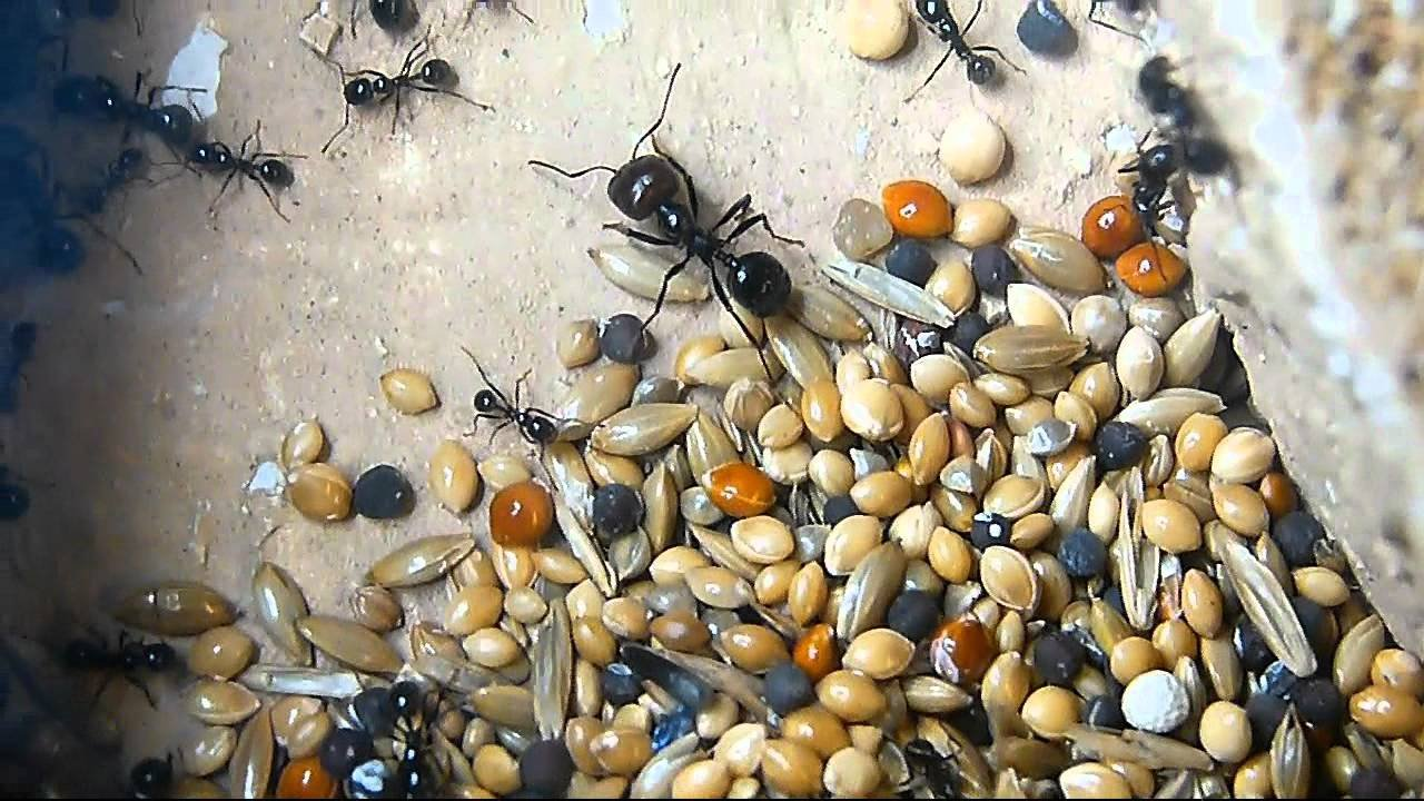 Organic Seed mix for Harvestor ants(Twin pack) Antsrus