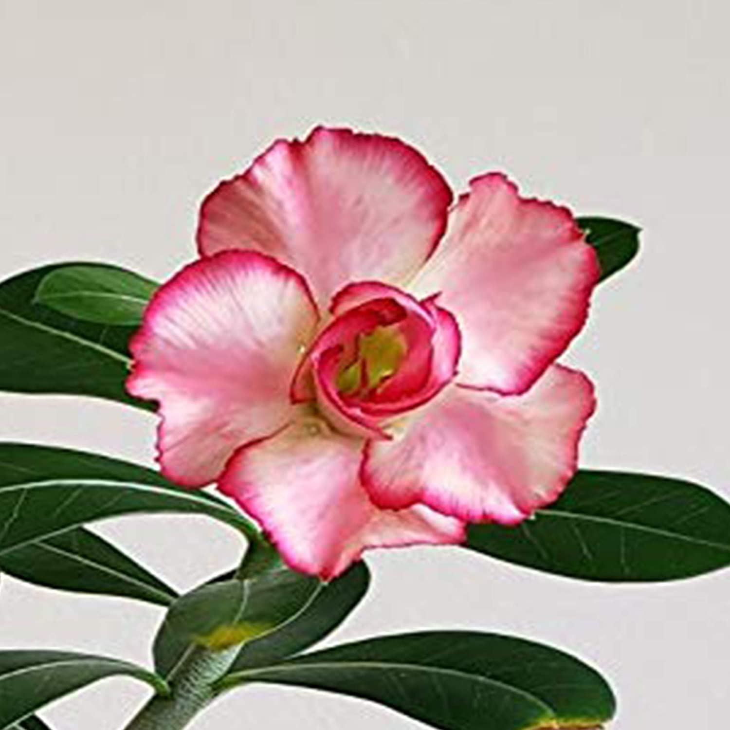 01 Big Harry Easy Care Rare Adenium Obesum Double Flower New Hybrids Grafted Mature Plant Not Just Seeds Desert Rose Plant