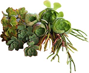 Succulent Plants, Succulent Cuttings (20 Pack), Real Live Succulent Cuttings/Unique Succulents for Garden- Irish Rose, Kiwi, Jade, and Firestick Live Cuttings (5 Each)