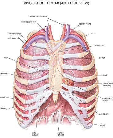 Amazon.de: Der Museum Steckdose Charts von - HB Anatomie Thorax - A3 ...