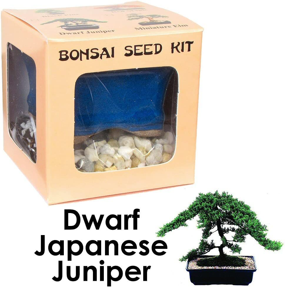 Amazon Com Eve S Dwarf Japanese Juniper Bonsai Seed Kit Woody Complete Kit To Grow Dwarf Japanese Juniper Bonsai From Seed Garden Outdoor