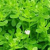 Quanjucheer - 50 semillas para plantas de acuario, hierba acuática, tortuga acuática, pecera,…