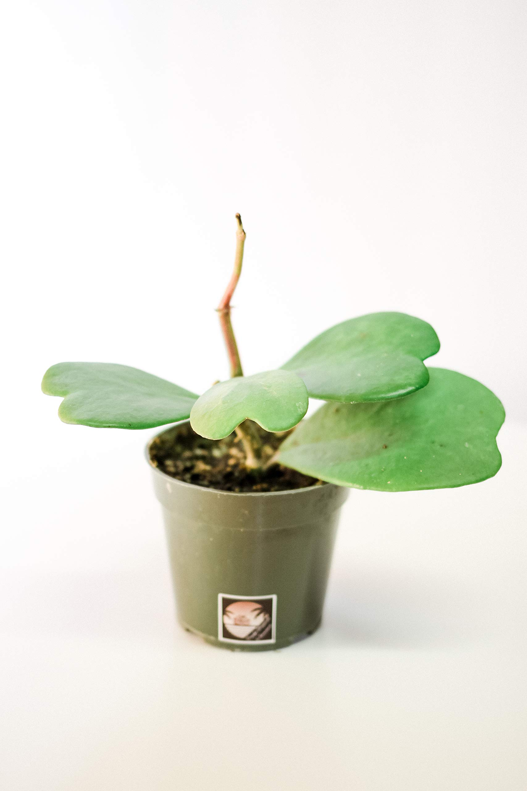 Pacific Tropicals &Succulents -Hoya Kerii Sweetheart Plant-Live Indoor Plant-Ships in 4 inch Grow Pot-Homegrown by Pacific Tropicals & Succulents (Image #2)