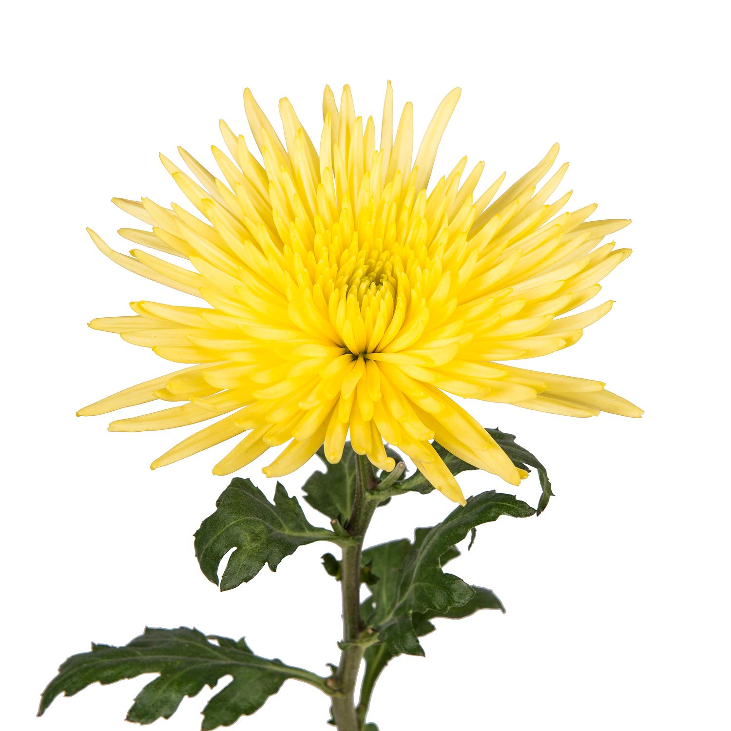 Farm Fresh Natural Yellow Spider Mums - Yellow - 60 Stems by Bloomingmore