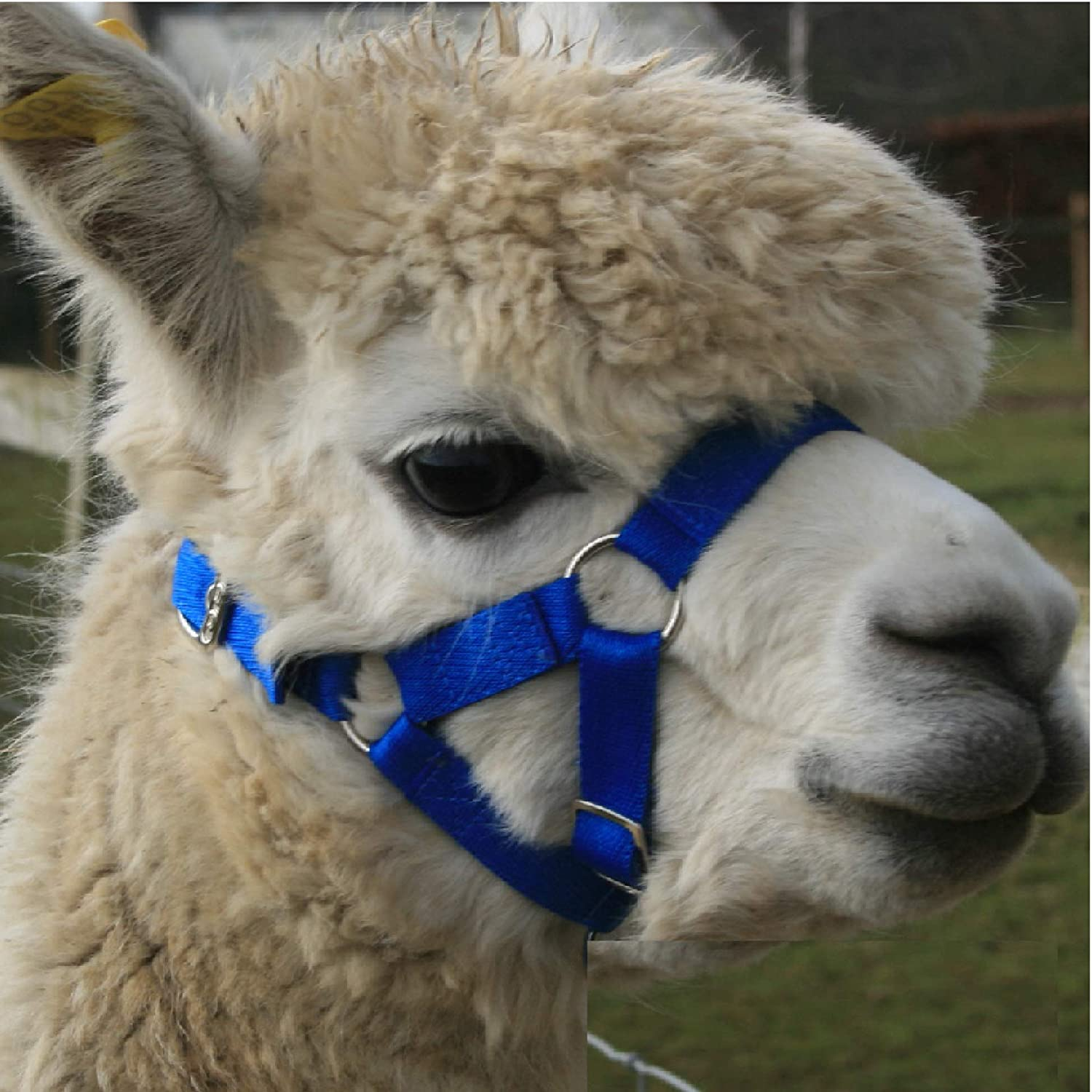 Alpaca Headcollar - Halter Buckle Fastening - Royal Blue - LARGE