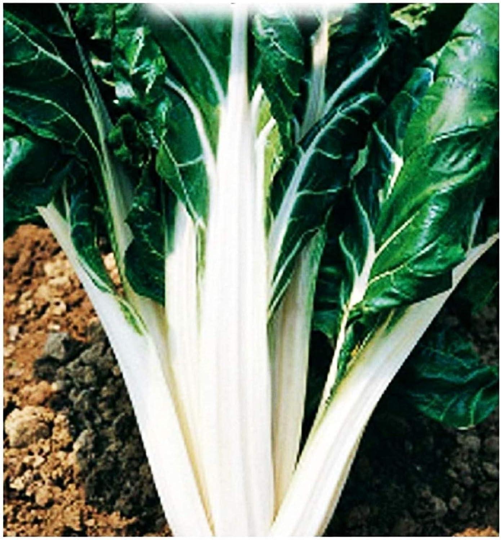 Semillas de acelga verde 2 de remolacha plateada - verduras - beta ...