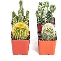 Set de 4 Cactus Variados Maceta 5cm Plantas Decorativas