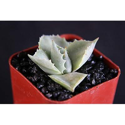 "2"" Plant Agave isthmensis Rare Succulent Plant Miniature Rose Bonsai Cactus Cacti Pot : Garden & Outdoor"