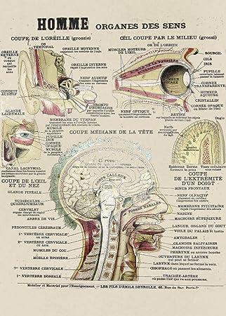 Amazon.de: Vintage Anatomie Echthaar Sense Organe Frankreich C1800 ...