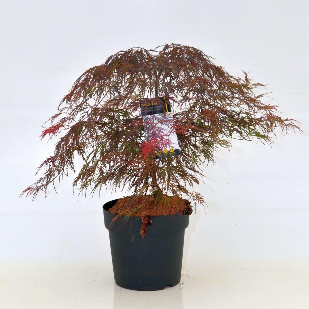 Roter Schlitzahorn `Dissectum Crimson Queen´ Größe 10-L-Topf, 50-60 cm Pflanzenhöhe