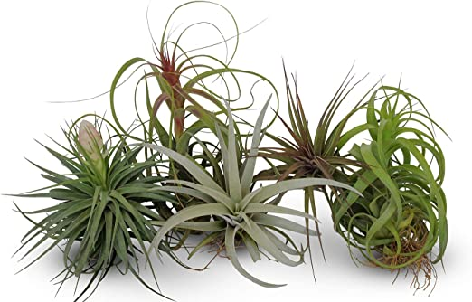 Tillandsia orted Large Live Air Plants-Low-Maintenance House Plants on inside home goods, inside home art, inside home backgrounds, inside home decorations, inside home lighting, inside home photography, inside home bugs, inside home flowers, inside home walls, inside home trees, inside home gardens, inside home design, inside home christmas, inside home fire,