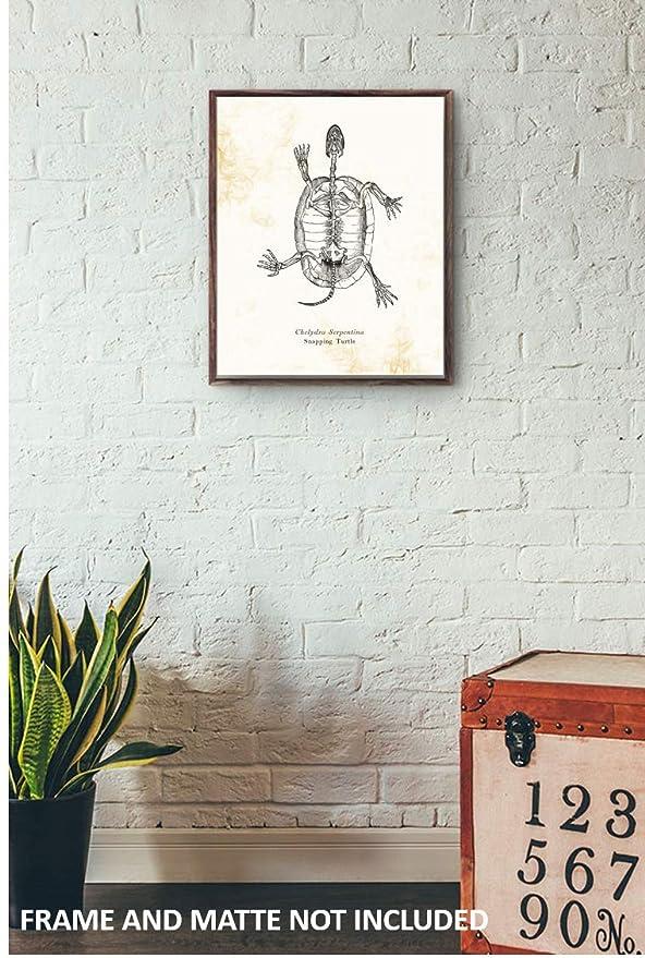 amazon com chelydra serpentina snapping turtle animal skeleton