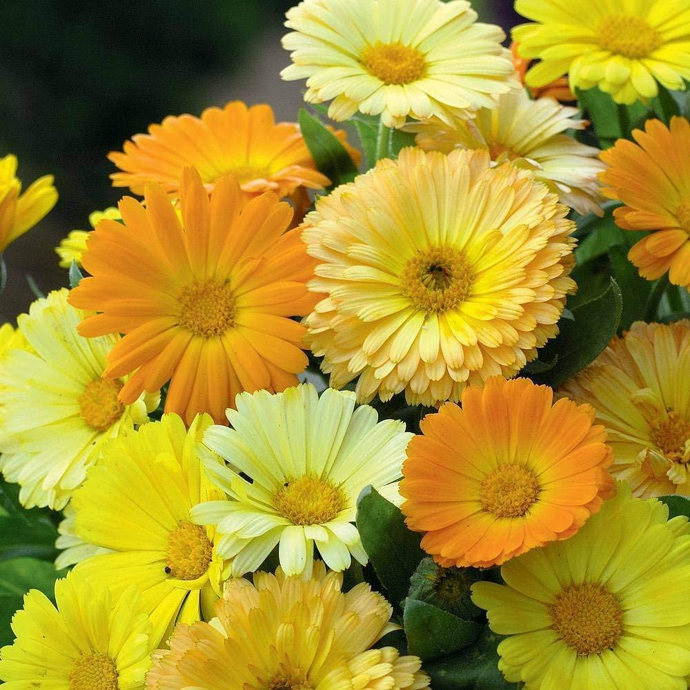 Calendula Fruit Twist Seeds Hardy Annual Flowers Garden Plants Easy to Grow Your Own 1 Packet of 60 Seeds by Thompson and Morgan