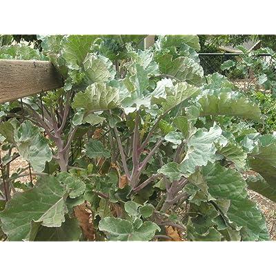 Purple Tree Collard Seeds - 50 Seeds : Garden & Outdoor