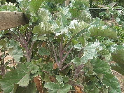 Tree top collard green cuttings