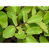 OjOrey Stone of kidney plant (patharchatta plant)